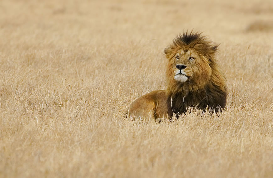 A male lion in the Serengeti